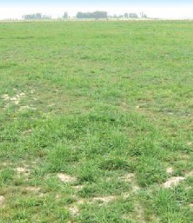 Utilización en primavera de las pasturas perennes templadas base gramíneas